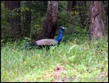 Peacock @ Nagarhole