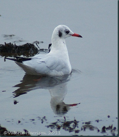 34-black-headed-gull