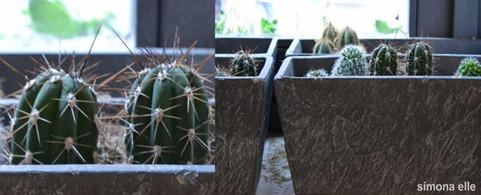 collage piante grasse 2 (800x293)