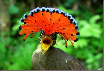 Amazing Animal Pictures Amazonian Royal Flycatcher (2)