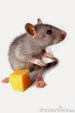 Gray mouse cheese 13952547