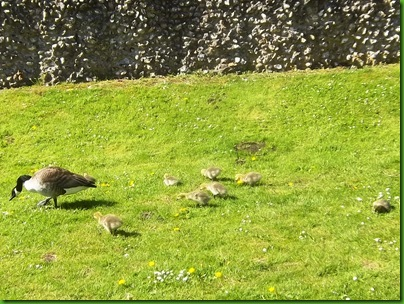 011-1  Canada Goose and healthy Goslings at Berkhamsted Castle