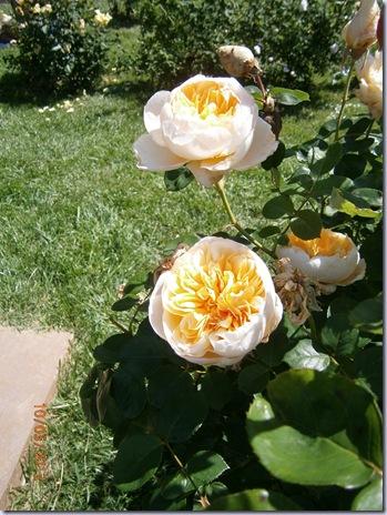Giardino iris e rose 279