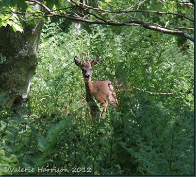51-Roe-Deer