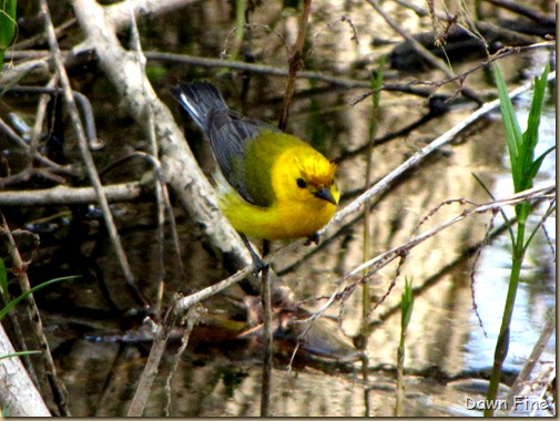Prothonatary Warbler (2)