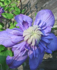 Double purple clematis 2013 full flower2