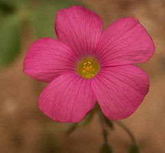 pinkmorningglory.jpg