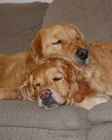 Kylie and Rosco, golden retrievers from Canton, Massachusetts.