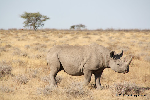 A black rhino!