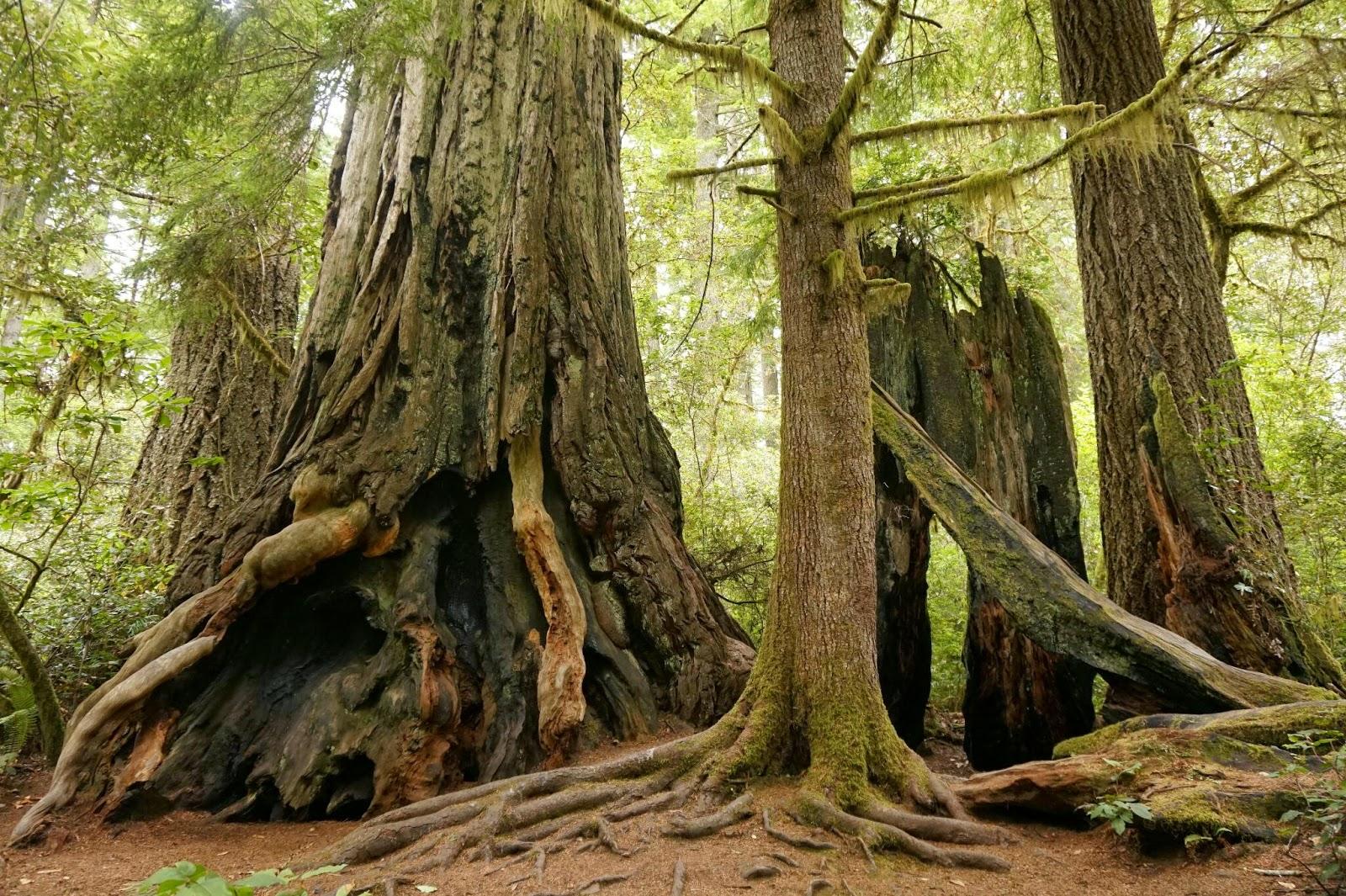 レッドウッド国立公園の画像 p1_33