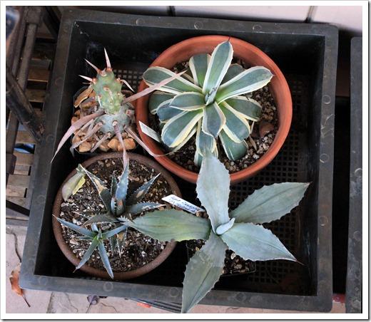 121208_fy_succulents_11