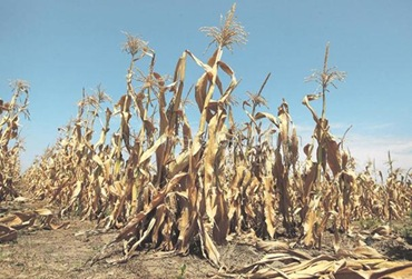 drought-usa-corn