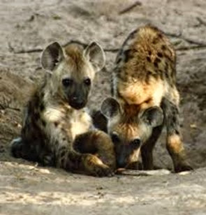 Amazing Pictures of Animals, Photo, Nature, Incredibel, Funny, Zoo, Hyena, Mammals, Alex (14)