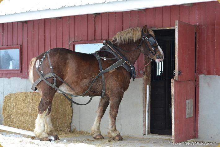BELGIAN HORSES 2013 (2)
