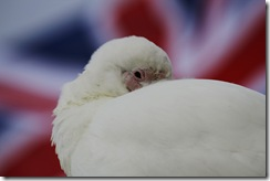 Sheathbill