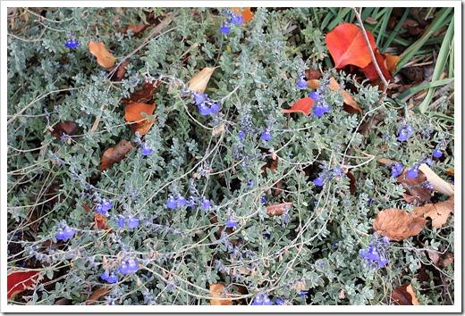 121120_Salvia-chamaedryoides_01