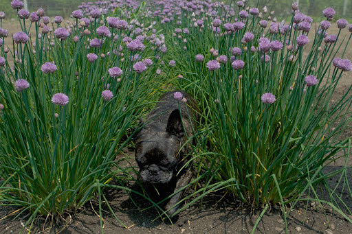 Don't be ridiculous, Sharkey.  Get a load of all these chive flowers!  Allium schoenoprasum, is the smallest species of the edible onions.  You can even eat the flowers!