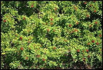 06 - Brazillian Pepper - Florida Holly