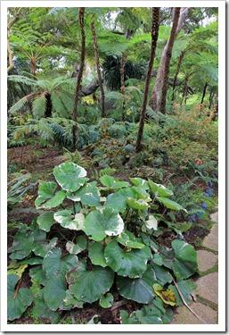 130403_Lotusland_Fern-Garden_Farfugium-japonicum-Argenteum_05