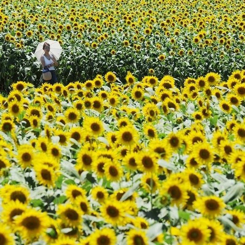 Sunflower Festival in Zama, Japan