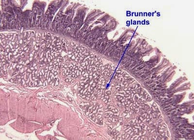 brunners gland