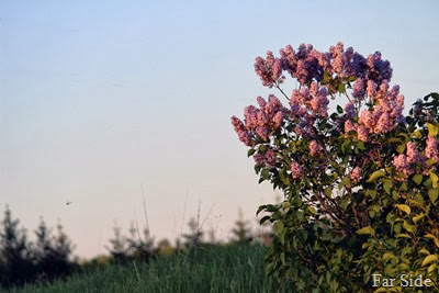 Sunset on the lilacs and a Dragonfly
