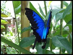 Australia, Kuranda Butterfly Park (3)