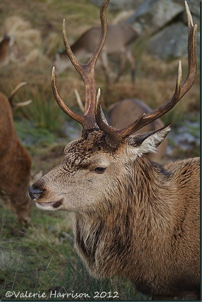34-red-deer