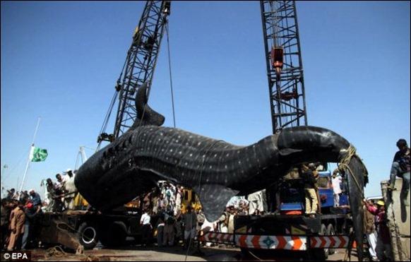 Γιγαντιαία 40-πόδι Whaleshark Παγιδευμένοι 04