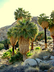 Fortynine Palms Oasis (Photo taken by Bob Moore)