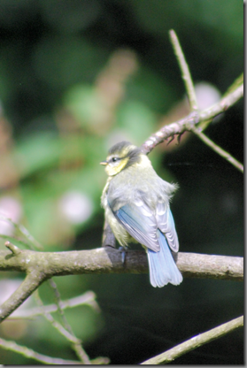 Juvenile Blue Tit (low res png)
