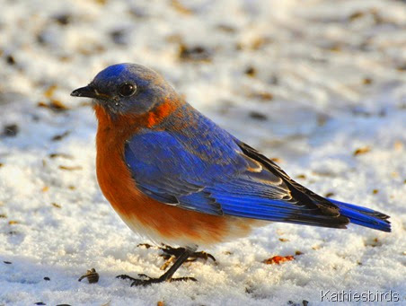 DSC_0613b Eastern Bluebird-kab