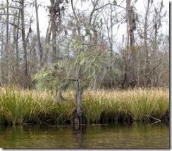 Spanich Moss draping a Bald Cypress