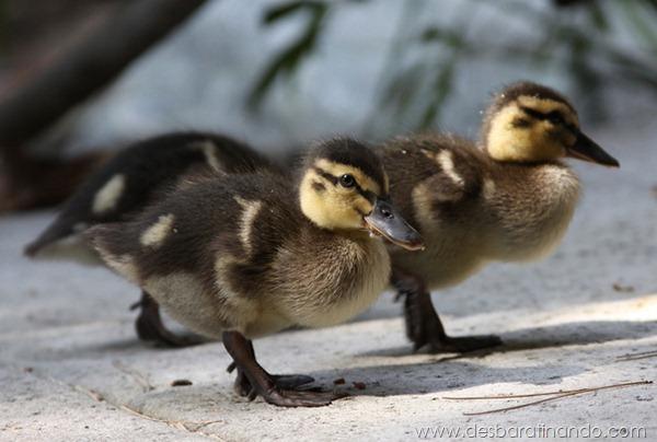 filhotes-patos-fofos-pequenos-desbaratinando (22)