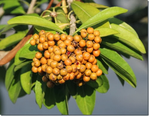 Pittosporum ferrugineumfruit
