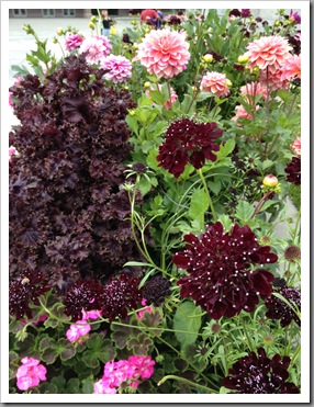 dark themed border including dahlias, scabiosa, pelargoniums