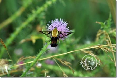 cr-hmbd-moth-4294-