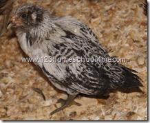 Easter Egger - 5 week sold