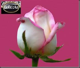 Flores-LoBocAs-08