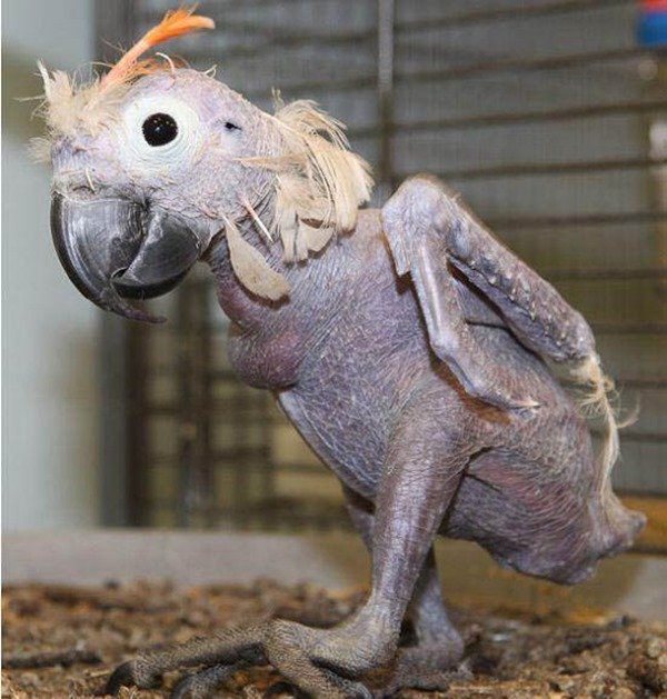 Hairless Parrot
