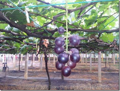 Ladang Anggur Tasik Beris 11