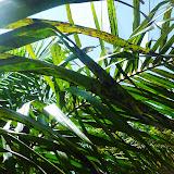 ある小農が栽培するアブラヤシの葉①:葉が黄色くなり、黒い斑点が見て取れる