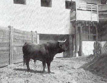 Toro Colmenareño (Aleas) 001