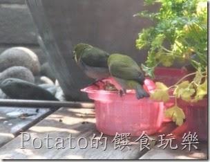 綠繡眼在我家築巢3-2