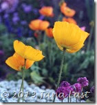 Cropped Yellow Poppies 600dpi