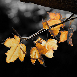 Maple Leaves by Winkie Chau - Nature Up Close Leaves & Grasses ( monochrome, autumn leaves, nature, leaves, maple leaves,  )