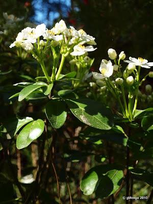 Choisya ternata - Oranger du mexique