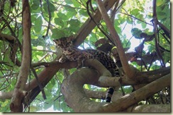 Baby Leopard Not (Small)