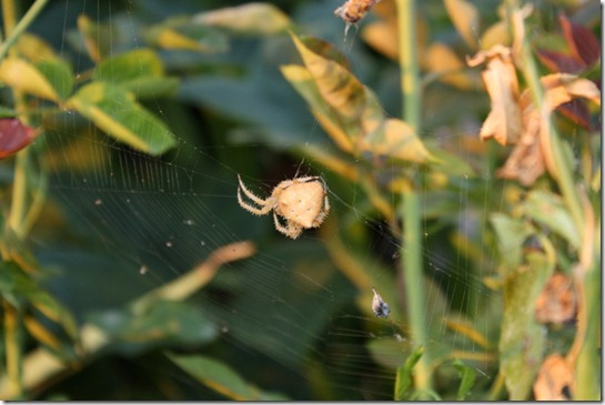 Crab Spider! 001