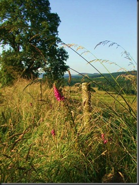 Foxgloves at Alwinton